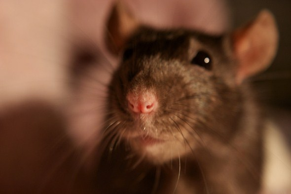 Close up picture of a rat.