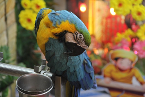 'Mickey the Macaw' lives outside a hairdressing salon, in District 1 of Ho Chi Minh. His beautiful plumage and talented mimicking draws customers into the shop.