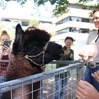 Knight the alpaca. Photo by Shirley Luy, HASS Crew.
